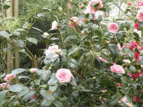 Camellias in Wingst, Germany. Part 2
