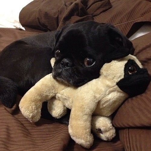 Pug puppy with his own pug puppy!