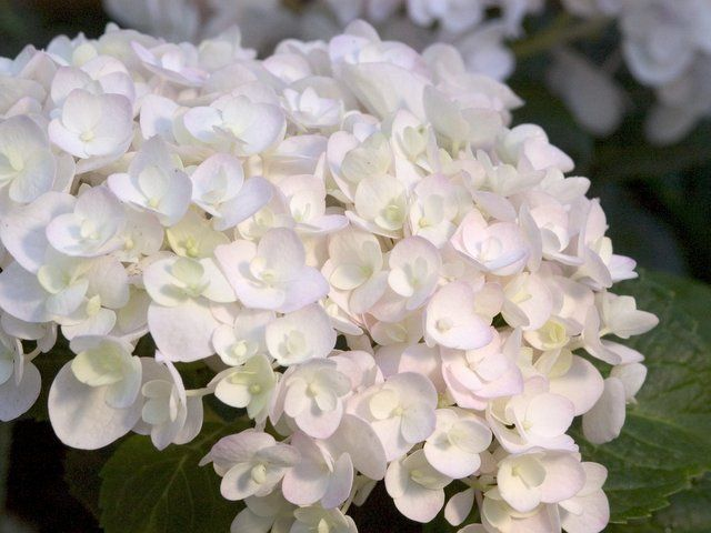 17 best ideas about endless summer hydrangea on pinterest. Black Bedroom Furniture Sets. Home Design Ideas