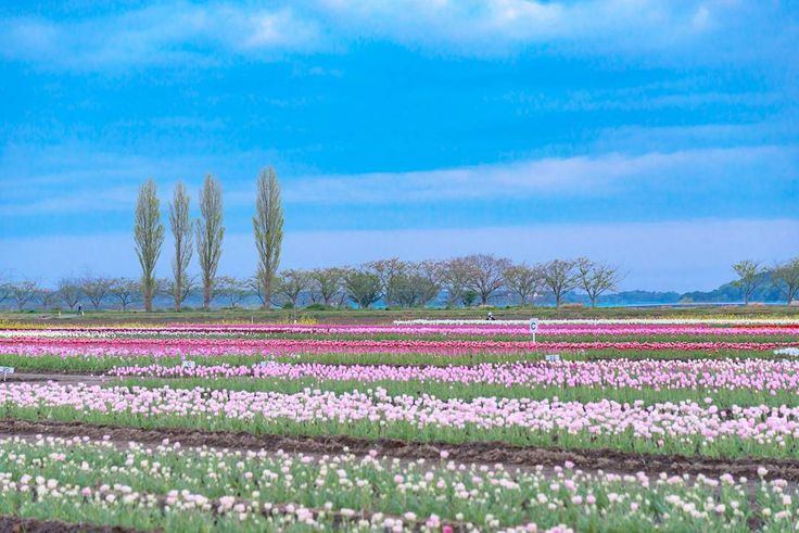 千葉県佐倉市佐倉ふるさと広場 #SakuraHometownSquare #TulipFestival #Tulip #Clouds #Sakura #Chiba #Japan #佐倉ふるさと広場 #チューリップ #チューリップまつり #雲 #佐倉市 #千葉県 #Nikon #D750 by tsumizo