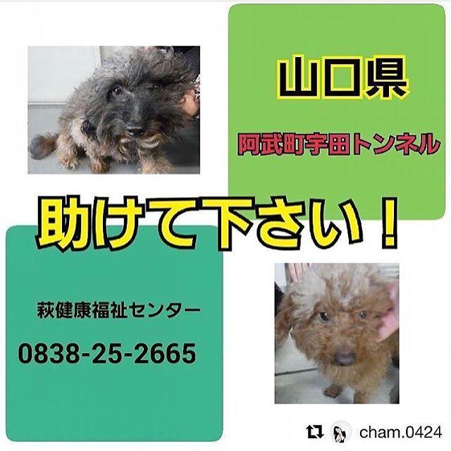 ‼️緊急‼️ #山口県 #犬 #トイプー ? #里親募集 恐らく捨てられた2匹… #Repost @cham.0424 怒りで震えています。昨日、掲載したプードルミックスの男の子と同じ阿武町宇田トンネル付近で同じプードルミックスの男の子が保護されています。2匹同時に迷うことってありますか。飼い主が棄てたのならこれは犯罪です!そんな悪魔に未来などあってはならないと思います!  山口県阿武町宇田宇田トンネル付近で保護され、現在萩健康福祉センターに収容されています。トイプードルミックス?の男の子です。2匹とも同じ場所で保護されています。ペットのおうちからも新しい飼い主さんを探す予定です。命の期限は一週間、待ってはくれません。どうかこの子の命が繋がりますように。拡散により繋がる命がたくさんたくさんあります!どうかどうか宜しくお願い致します。 * * 萩健康福祉センター 生活環境課 食品衛生班  TEL 0838-25-2665 * * 管理番号:28-8-109保護場所:山口県阿武町宇田宇田トンネル付近 種類:プードルミックス? 性別:オス 大きさ:小さめの中 毛色:茶…