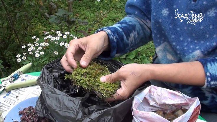 """Размножение лилии чешуйками. Сайт """"Садовый мир"""""""