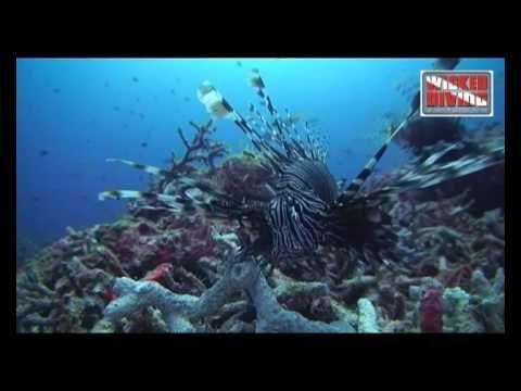 similan diving video -  lionfish
