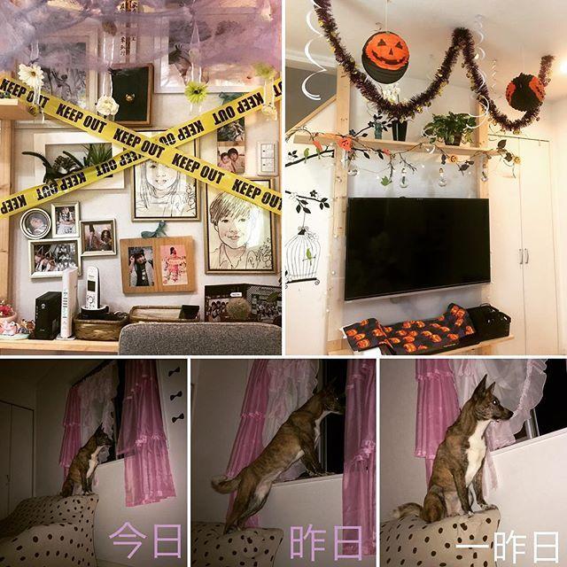ハロウィン🎃の飾り付けを少しだけしてみた。 関係ないけど 最近毎晩シャラちゃんが ソファーの背もたれに座っている。 そこ座る所違う🤣 そして暗闇の中じーっと 1点を見つめている。 何かあるの??? UFO見た事あるわたしは←ホントに! ちょっと怖い…👽👽👽 #ハロウィン#飾り付け#カボチャ#蜘蛛の巣#休日#愛犬#日本犬#甲斐犬#室内犬#UFO