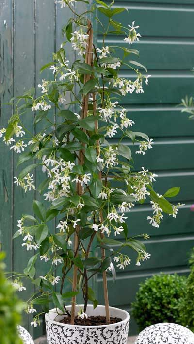 Star Jasmine - I want to try this on the arbor. I will grow it in 2 big pots and try to overwinter it, as it is not hardy in zone 5.