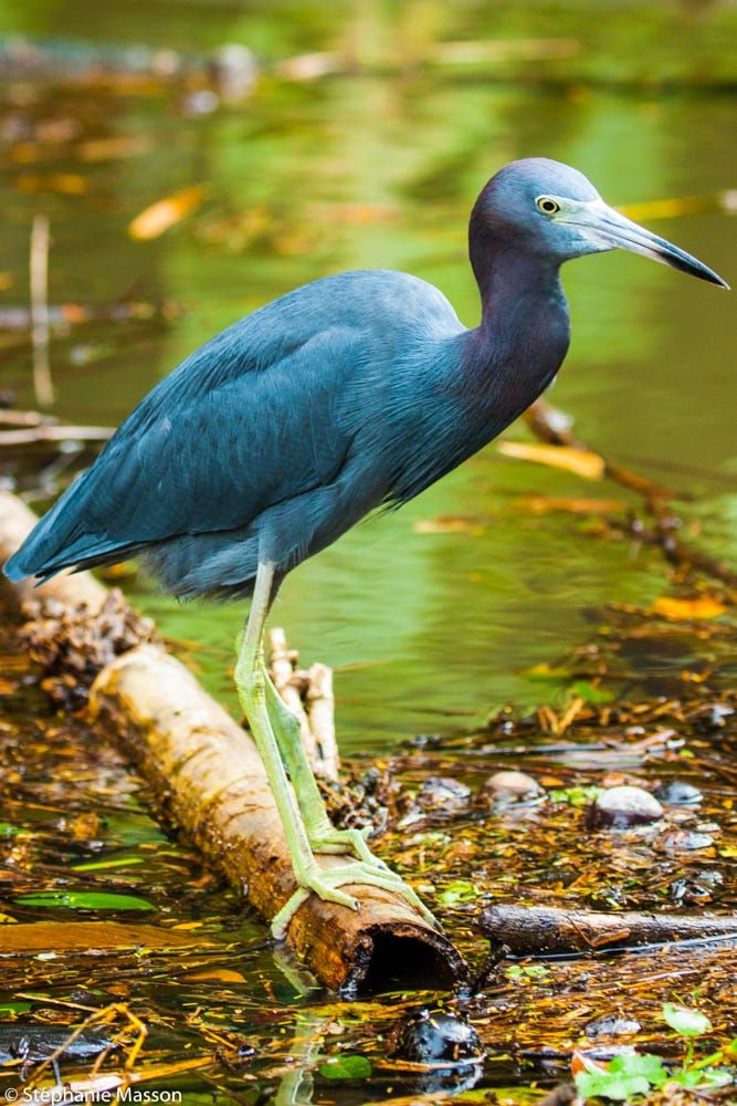 Blue Heron by Stéphanie Masson on 500px - Blue Heron in Tortuguero National Park, Costa Rica.