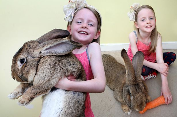 World's biggest rabbit Darius eats £2.5k worth of food a year - including 4,000 carrots - Mirror Online