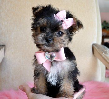 How sweet!: Terriers, Cutest Dogs, Morki Puppys, Pet, Bows, Baby, Little Puppys, Teacup, Animal