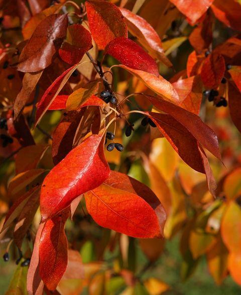 Glowing in colour, Nyssa sylvatica #bright #colours #red # ornage #autumn
