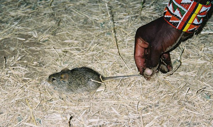 Mouse in the House Tells Tale of Human Settlement