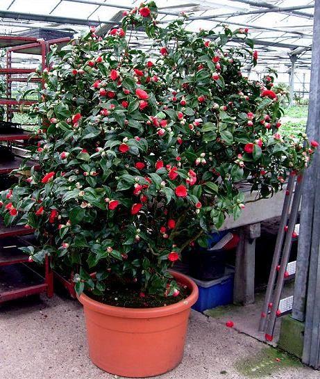 camellia coquettii in pot i ve got pots pots pots