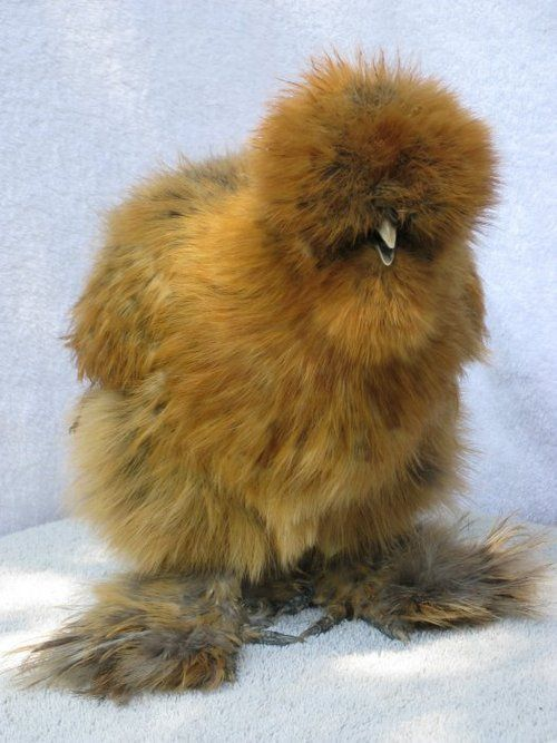 silkie chick aka. tiny sasquatch  My favorite breed of chicken-SOme people keep them as house pets as they would a parrot-very loving birds!