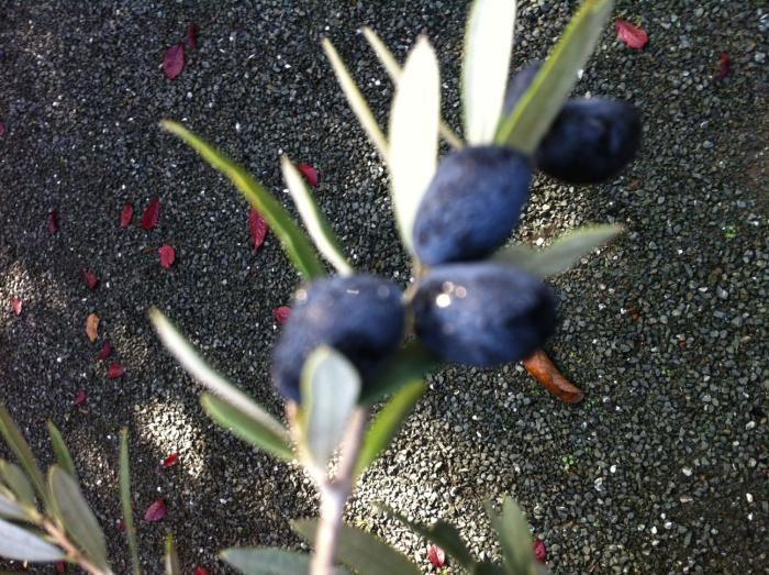 DIY: Home Cured Olives Gardenista