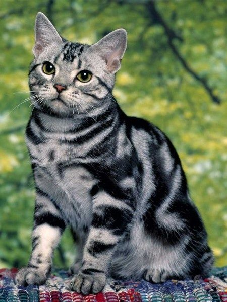 Image result for american shorthair
