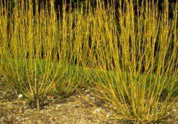 yellow twig dogwoood - 6-10 feet