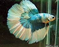 Bright, colorful and unique beta fish - Bing Images