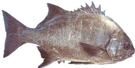 Galjoen only occur in Southern African waters and this is South Africa's National fish.
