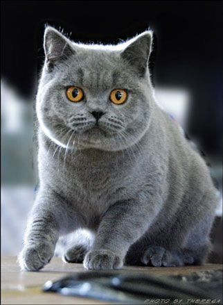 British Shorthair Blue Male Kitten - Diva Kalame Blueberry Pancake