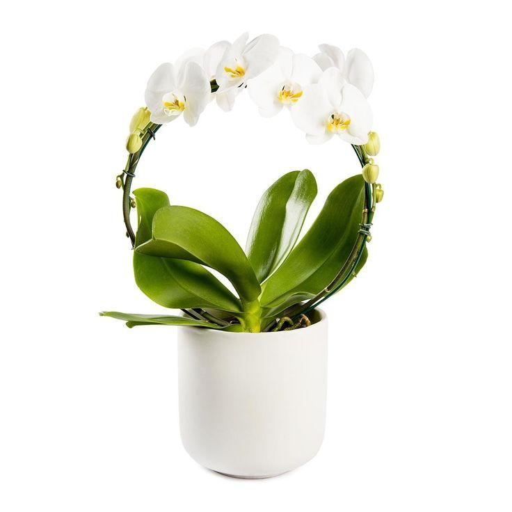 Dutch Circle Orchid