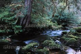 Image result for west coast cedar trees