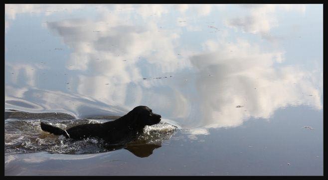 Labrador Retrievers live to swim!Doggie, Labrador Retriever, Retriever Living, Labs Living, Water Dogs, Hate Water, Dogs Labrador, Black Labs, Animal