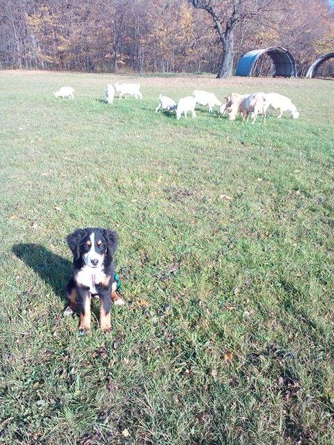 Správny pastiersky pes Bernský salašnícky pes.