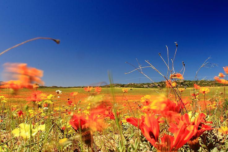Spring flowers 2015 Skilpad Nature Reserve Namaqualand Kamieskroon