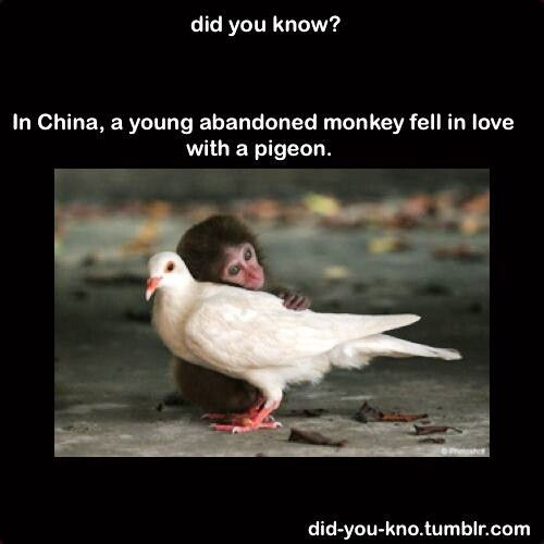 Did you know? In China, a young abandoned monkey fell in love with a pigeon.