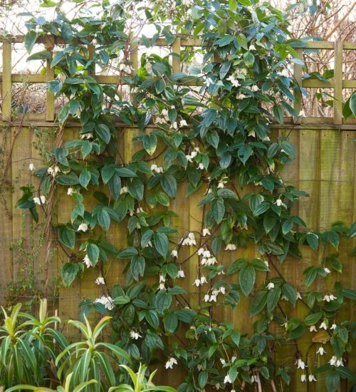 clematis urophylla 39 winter beauty 39 winter bloom pinterest winter garden winter plants. Black Bedroom Furniture Sets. Home Design Ideas