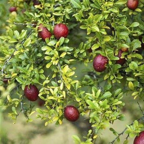 Citrus pages australian blood lime citrus australasica for Small slender trees