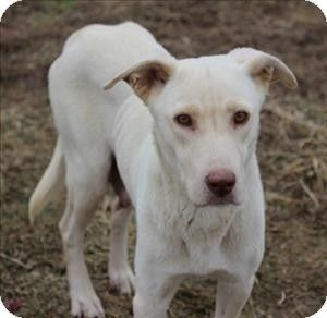 SHEENA...QUAKERTOWN, PA...FILL OUT AN APPLICATION IF YOU ARE INTERESTED!!! QUAKERTOWN, PA...Quakertown, PA - Labrador Retriever/Shepherd (Unknown Type) Mix. Meet Sheena a Dog for Adoption.
