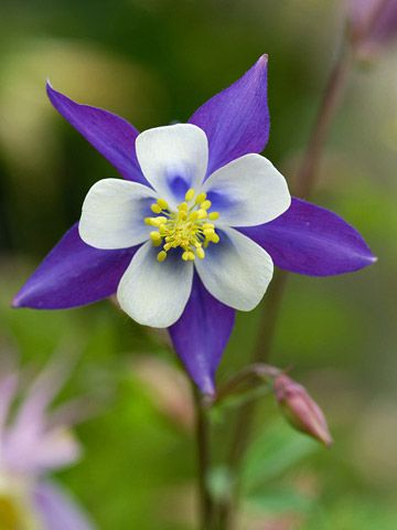 Columbine-deer resistant plants, i know i don't have deer in my yard, but these are pretty flowers!