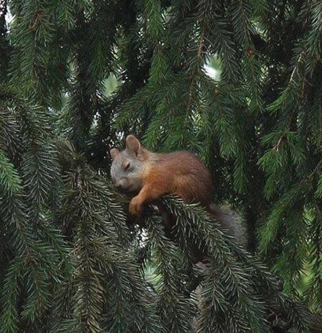 Darling baby squirrel sleeping in a tree.
