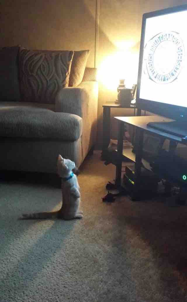 Just a munchkin cat watching tv. – Schattige Foto's                                                                                                                                                                                 More