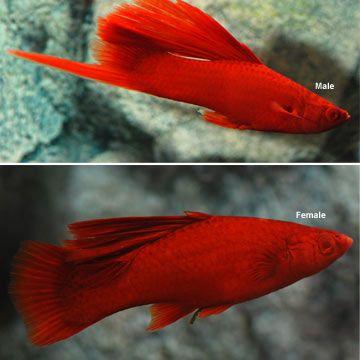Blood Red Hi Fin Swordtail (Xiphophorus Helleri)
