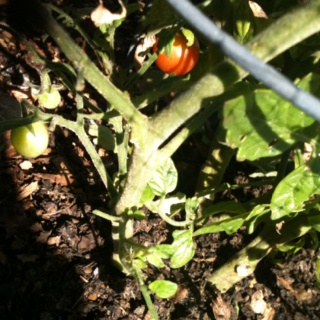 This cherry tomato thinks it is going to hide. Well, we've already had 2 that were ripe. They were great!