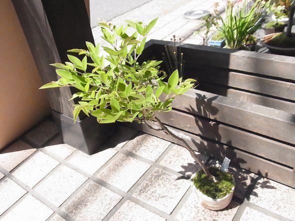 モッコウバラの盆栽