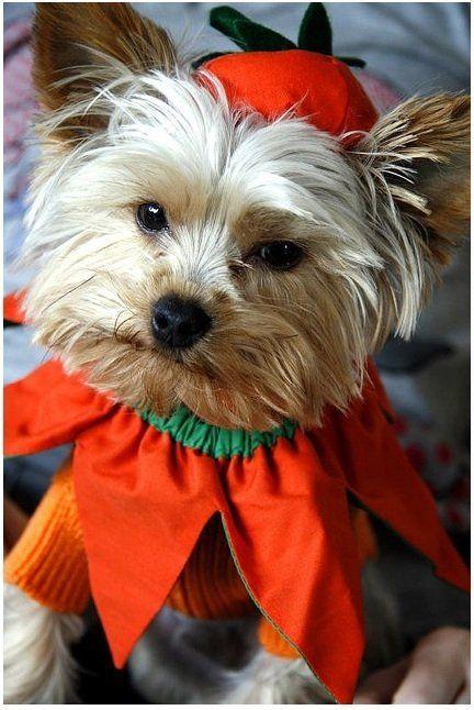 Yorkie Halloween Costumes