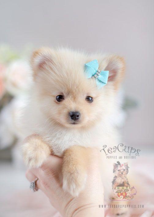 Cream Pomeranian Puppy 026 Pomeranian Puppy Teacup Puppies Puppies