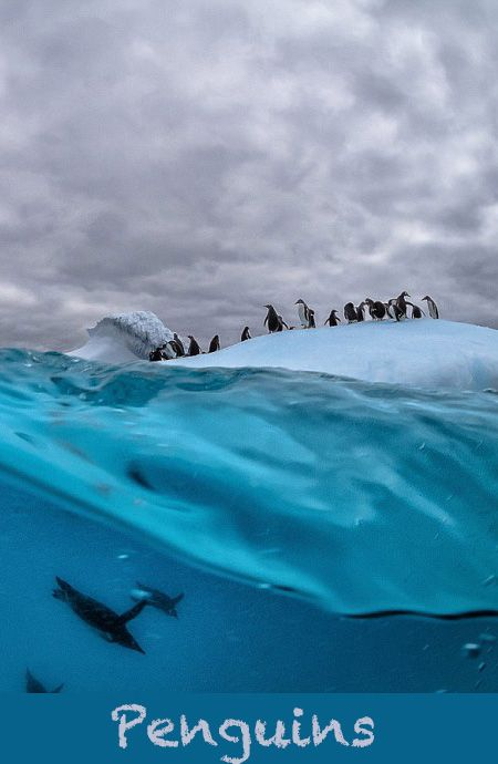 These #penguins have made a giant iceberg their playground, and the perfect place for a dive into the freezing water.  Penguins at Danco Island, Antarctica  - Photo: Justin Hofman