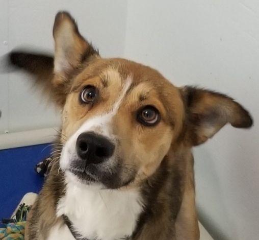 Adopt Frankie On Dog Adoption Cattle Dog Dogs