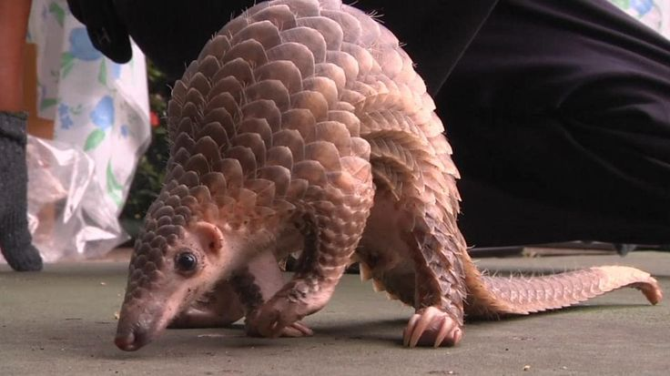 Thai authorities on Thursday displayed to journalists nearly 3 tonnes of scales from pangolins, the world's most poached animal, seized in anti-smuggling operations since December.