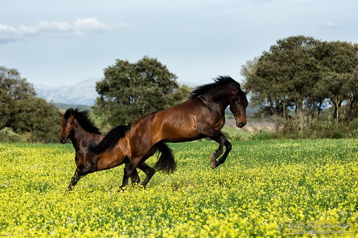 Andalusian stallions playing in the mountains
