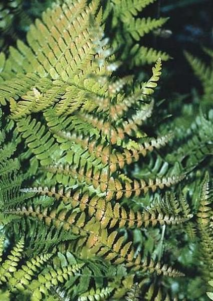 Dryopteris erythrosora Brilliance (Brilliance Autumn Fern) : Dryopteris erythrosora 'Brilliance' is a selected form of autumn fern that has brighter red new growth than what is typically seen with spore-grown...