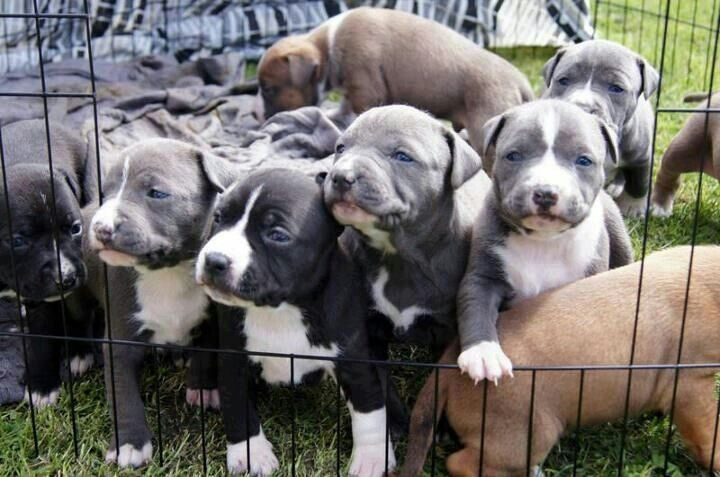 Gang of blue-nose pitbull puppies