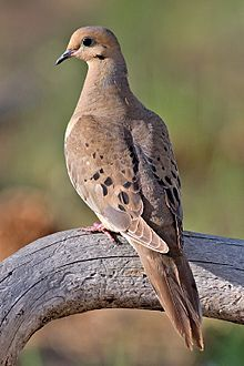 Mourning Dove.  Some people find their call rather sad, I find it reassuring somehow.  That all is right with the world at the moment