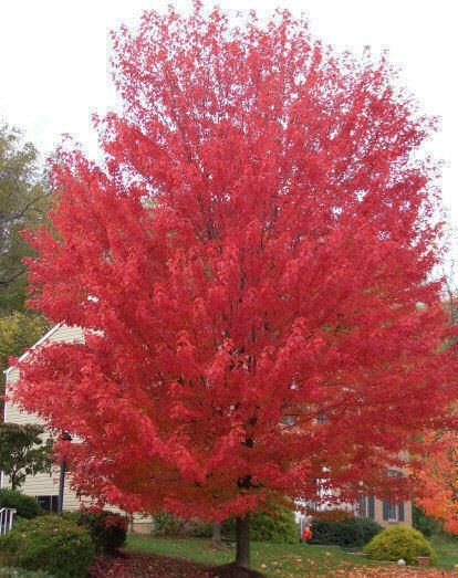 Several varieties of Maple have been developed to  create  fantastic fall foliage, such as Red Sunset & October Glory