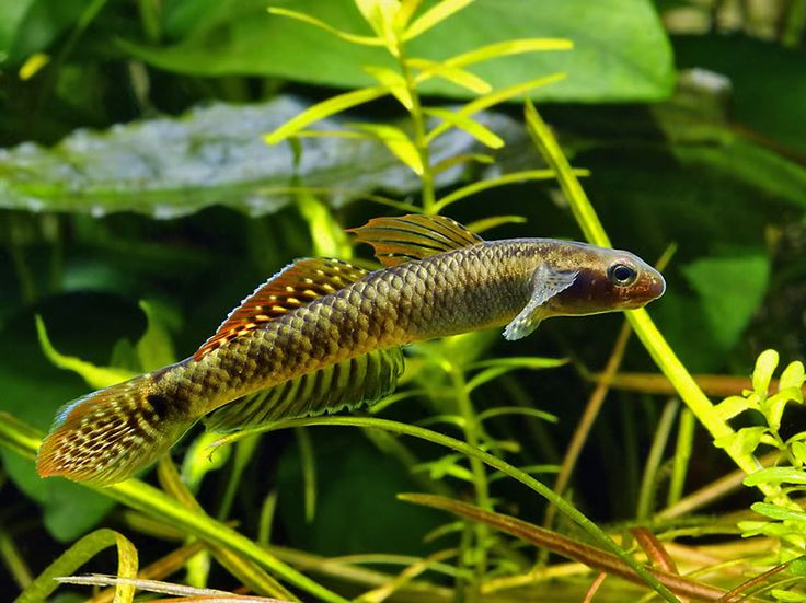 1000 images about freshwater micro fish species on for Tropical fish species