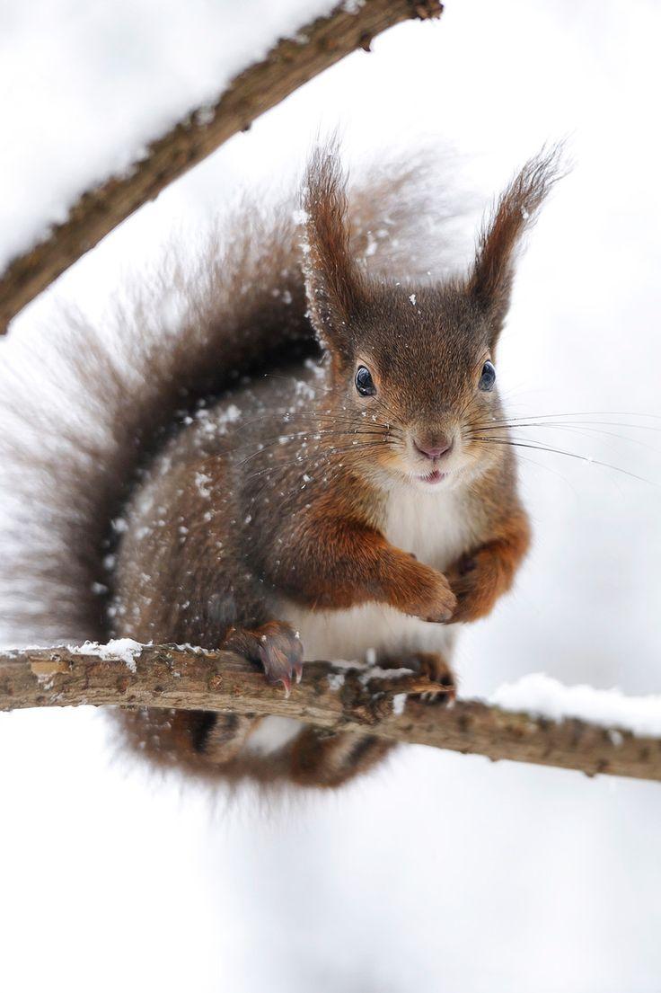 Eekhoorn in de winter.