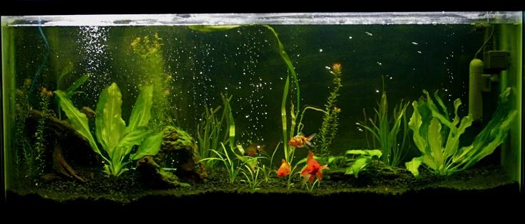 Set up a planted goldfish aquarium goldfish aquarium for Setting up a fish tank